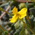 Helianthemum oelandicum ssp incanum Europe