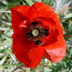 Papaver rhoeas Europe