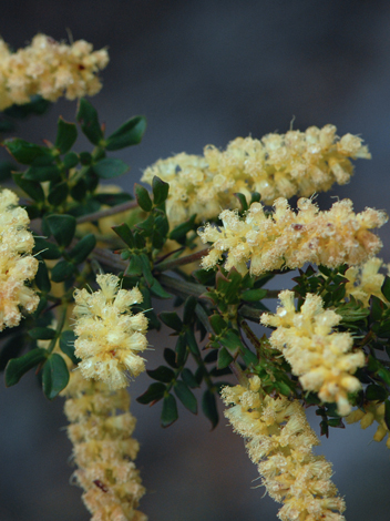 Acacia drummondii close