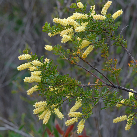 Acacia drummondii whole