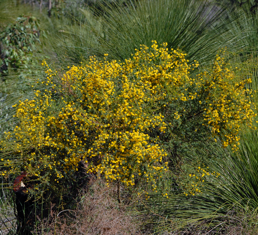 Acacia pulchella whole