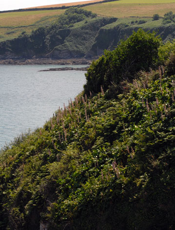 Acanthus mollis on cliffs
