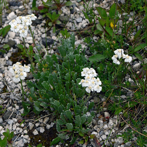Achillea clavennae whole
