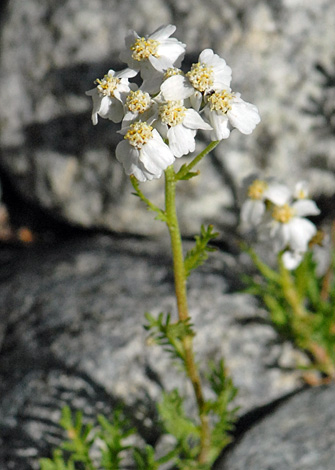 Achillea erba-rotta ssp moschata close