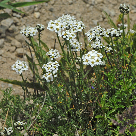 Achillea erba-rotta ssp moschata whole