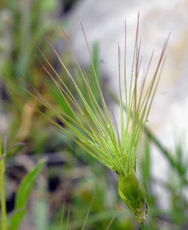 Aegilops geniculata close