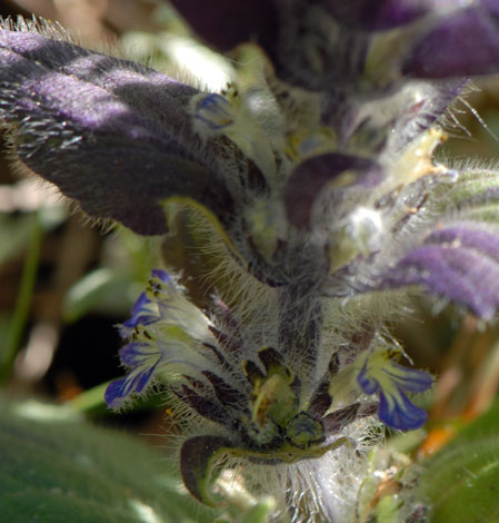 Ajuga pyramidalis Pyrenees close