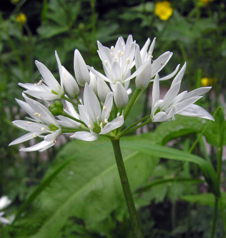Allium ursinum flower