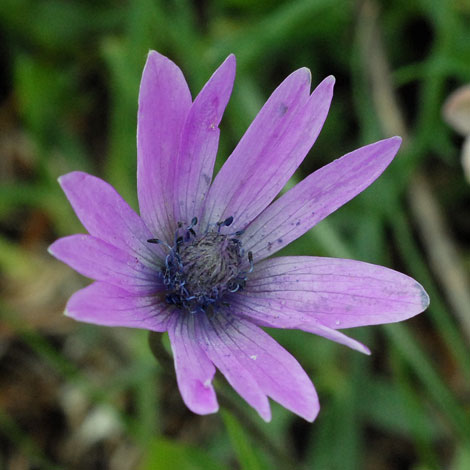 Anemone hortensis close