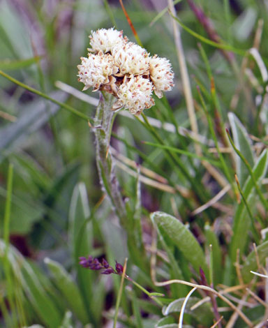 Antennaria carpatica close
