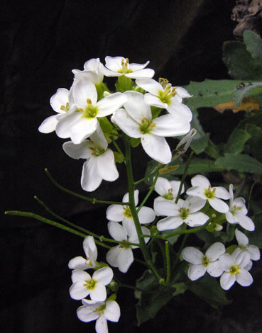 Arabis caucasica close