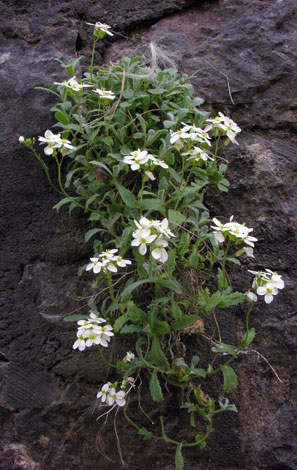 Arabis caucasica whole