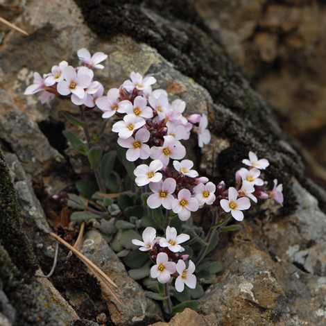 Arabis purpurea whole