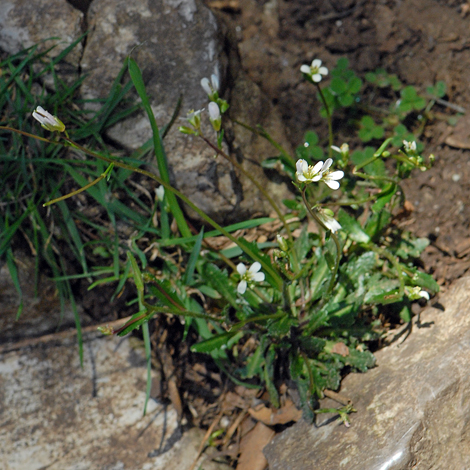 Arabis scabra whole