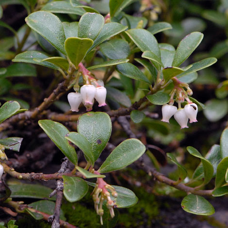 Arctostaphylos uva-ursi whole