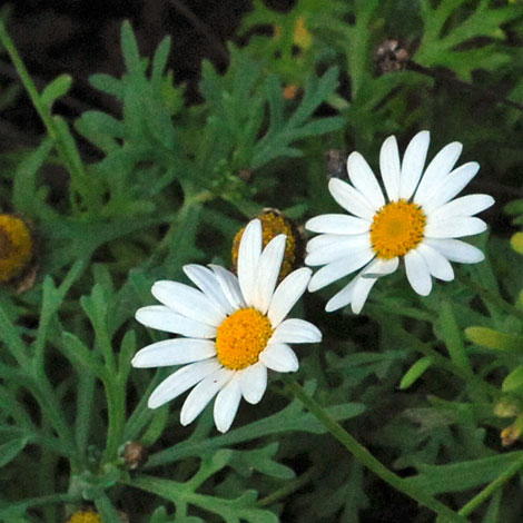 Argyranthemum frutescens close