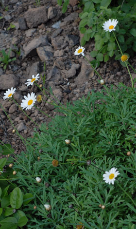 Argyranthemum frutescens whole