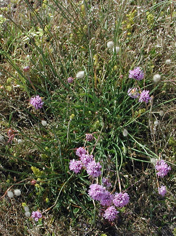 Armeria arenaria whole