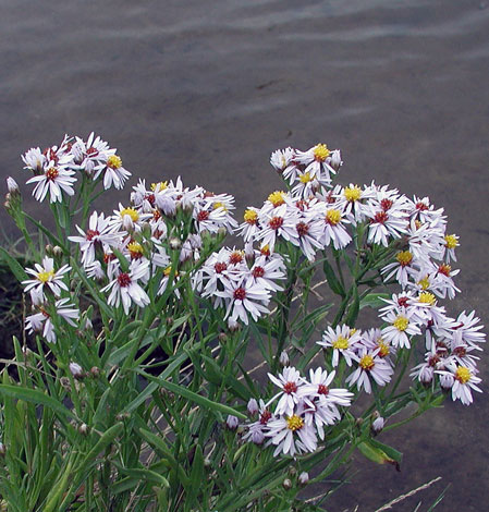 Aster tripolium whole