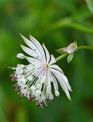Astrantia major close