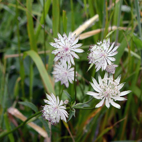 Astrantia major whole