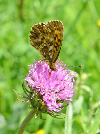 Boloria titiana under