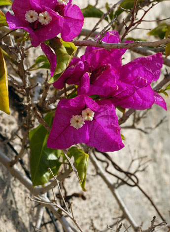 Bougainvillea spectabilis close