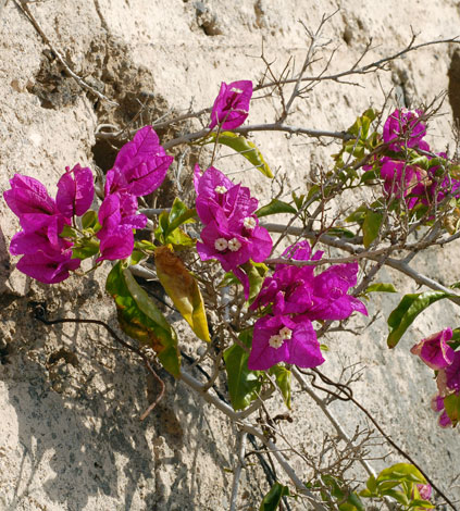 Bougainvillea spectabilis whole