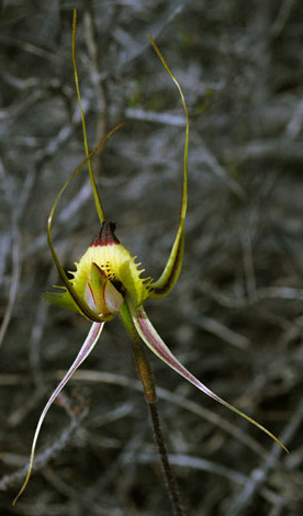 Caladenia falcata close front view