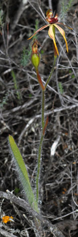 Caladenia longiclavata whole