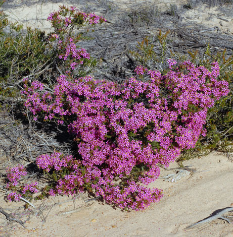 Calytrix brevifolia whole