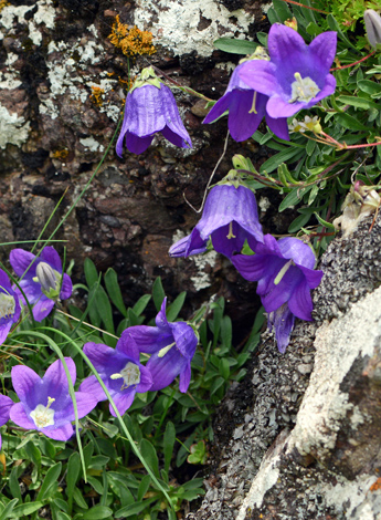 Campanula saxifraga close