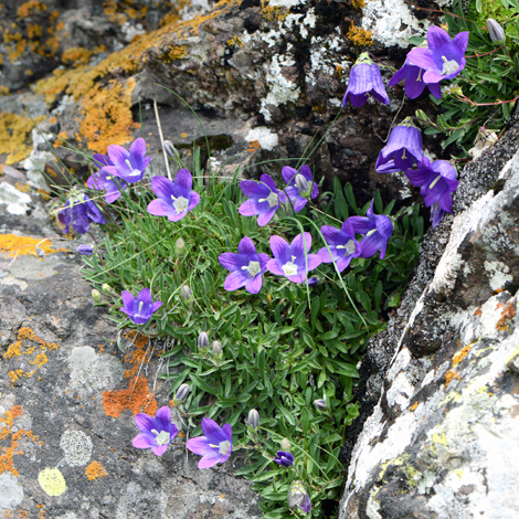 Campanula saxifraga whole