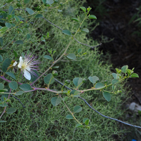 Capparis spinosa whole