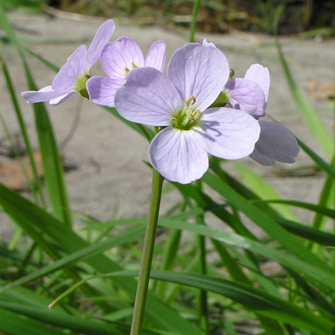 Cardamine pratensis close