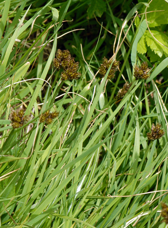 Carex leporina Andora whole