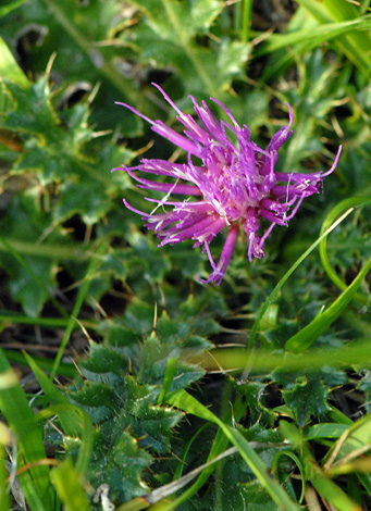 Cirsium acaule close