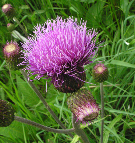 Cirsium heterophyllum close