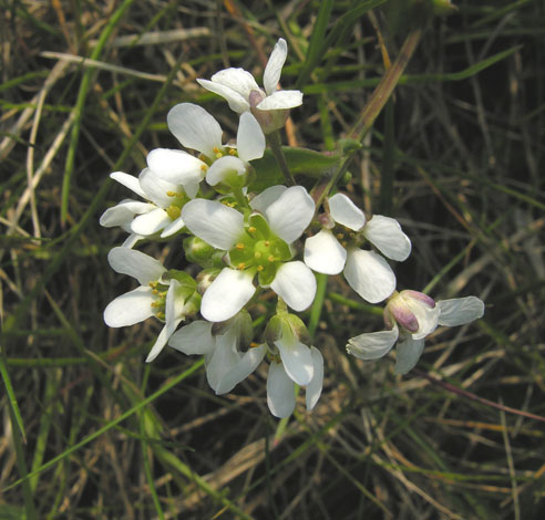cochlearia officinalis close