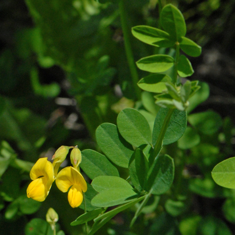 Coronilla emerus whole