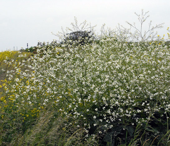 Crambe cordifolia whole