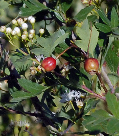 Crataegus monogyna fruit