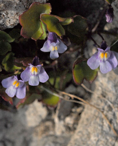 Cymbalaria muralis close