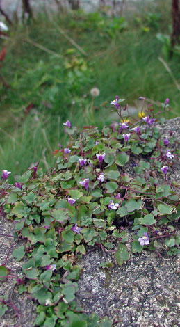 Cymbalaria muralis whole