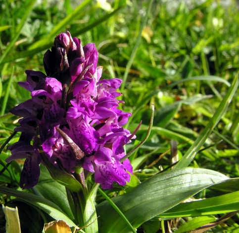 Dactylorhiza majalis ssp occidentalis
