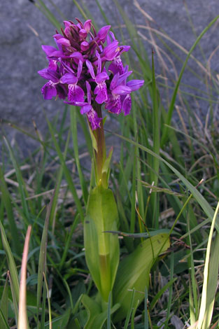 Dactylorhiza majalis ssp occidentalis whole