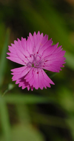 Dianthus carthusianorum close top view
