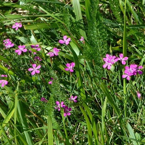 Dianthus deltoides whole  Pyrenees