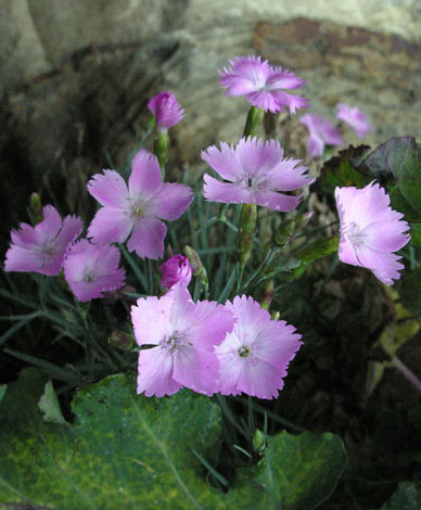 Dianthus sp Whitby Pink close