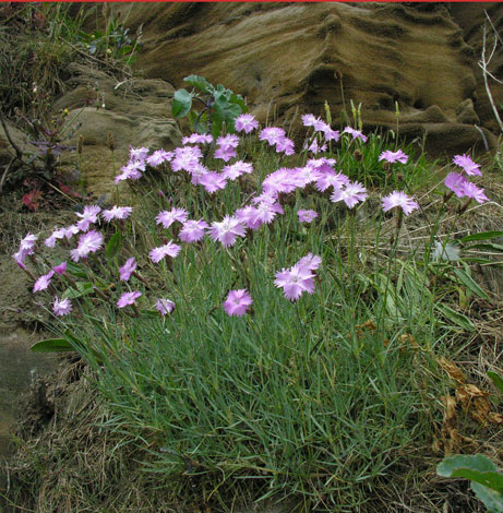 Dianthus sp Whitby Pink whole plant